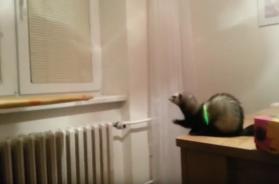 ferret-jump-fail